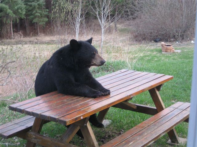 picnic table bear